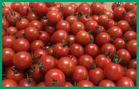 Shushan Valley Hydro Farm: pesticide free tomatoes and herbs